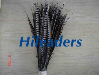 Reeves  pheasant feather