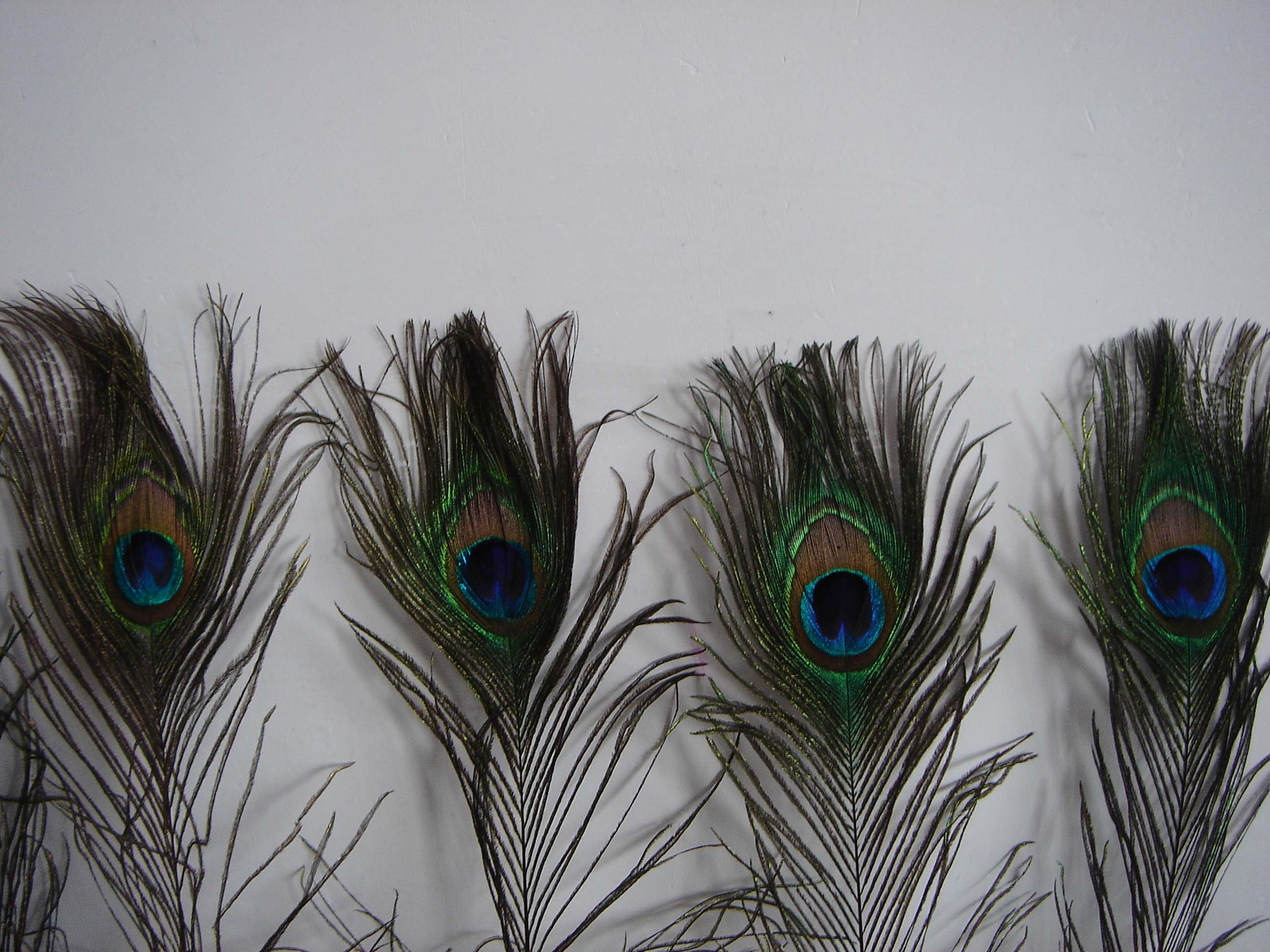 Decorative Peacock feather